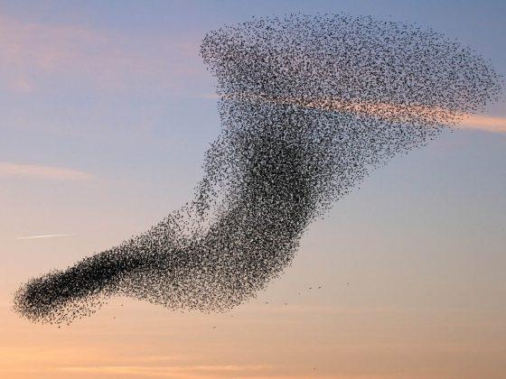 flock-of-starlings